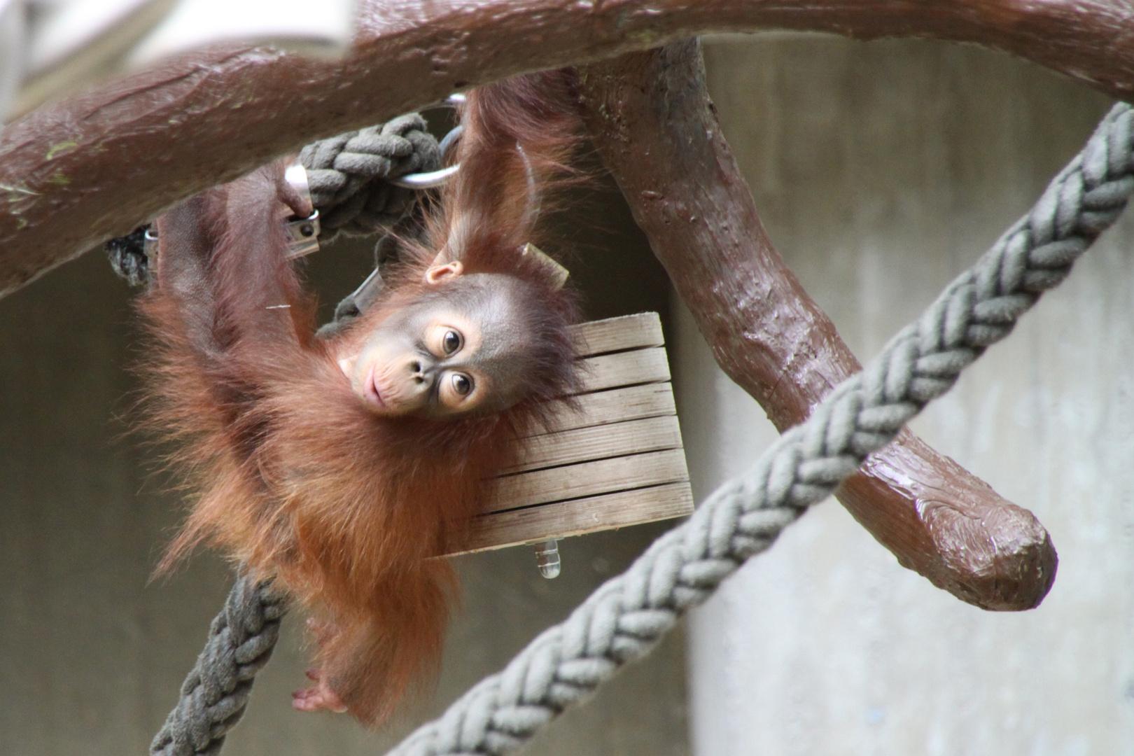 neugieriges Affenbaby