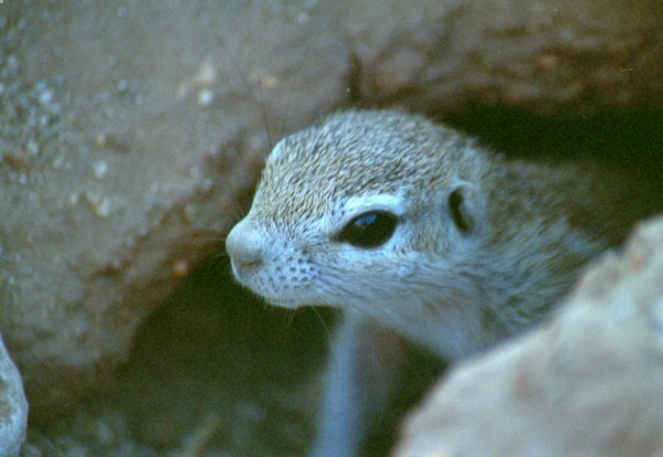 Neugieriges Erdhörnchen im Etosha