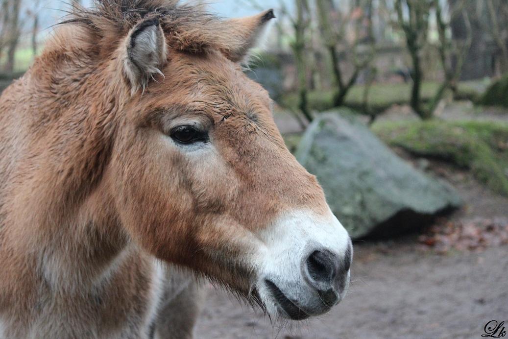 Neugieriges Przewalski-Pferd