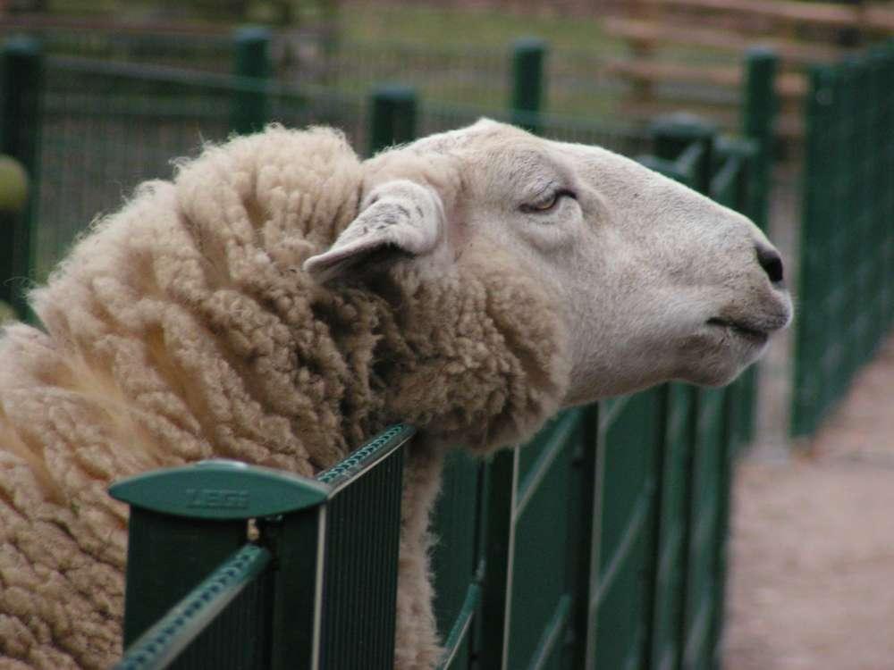 Neugieriges Schaf im Stadwald, Köln