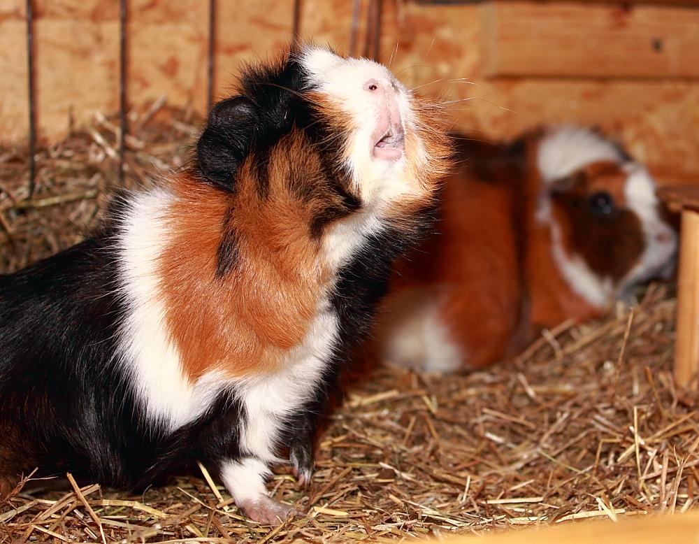 Neugieriges Schweinchen