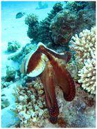 neulich im Roten Meer § Hallo Oktopus