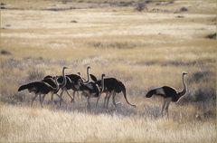 NEUN Straussenvögel... in Namibia