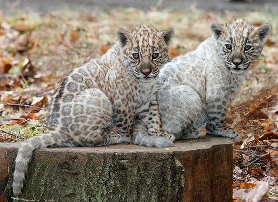 Neun Wochen alte ,, weisse ,, Jaguare