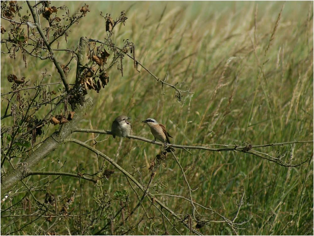 Neuntöter - Fütterung eines Jungvogels