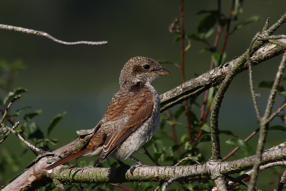 Neuntöter - Jungvogel