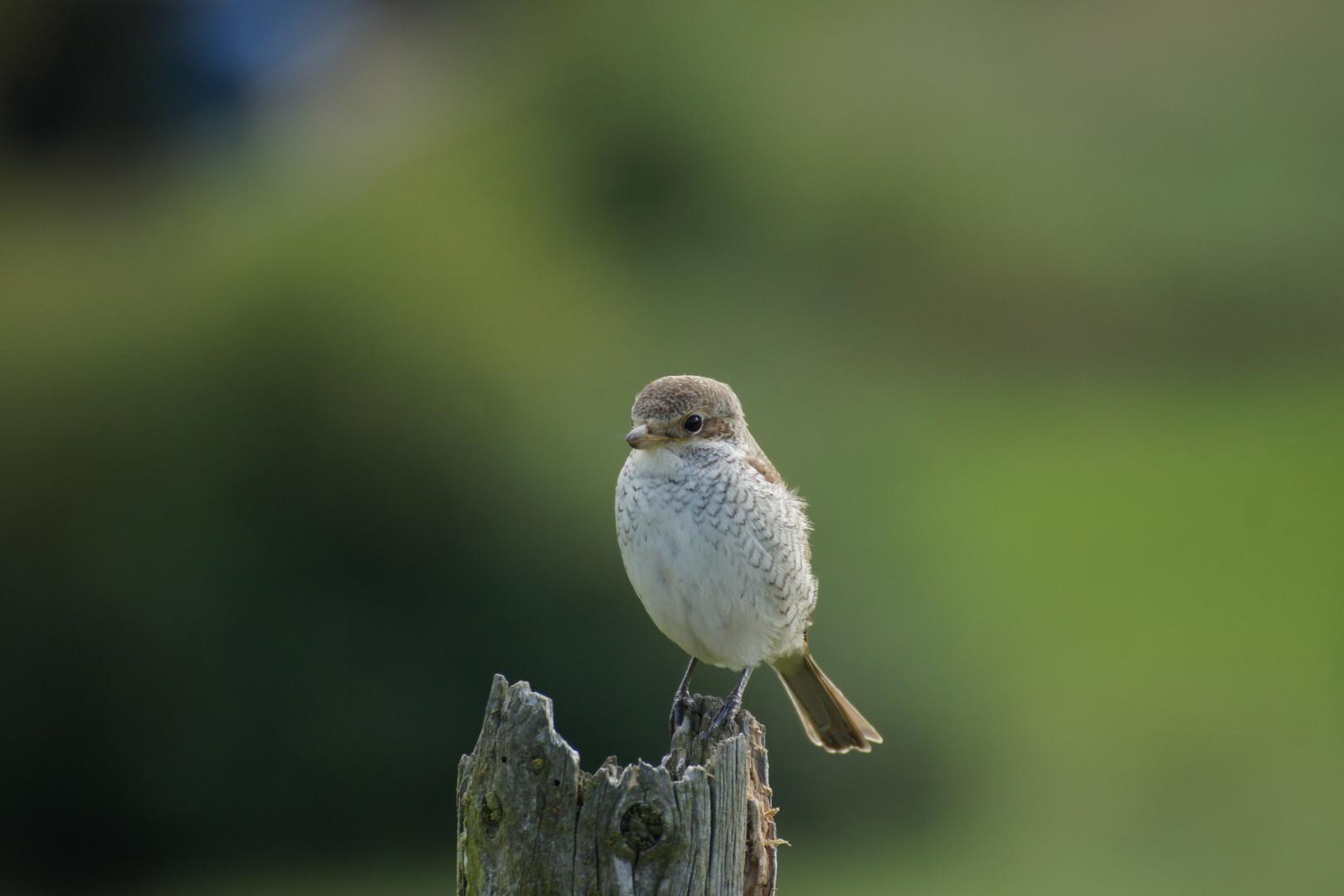 Neuntöter - Weibchen 12.9.2014