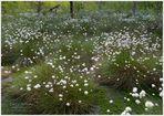 """Neuschnee"" - Wollgrasblüte im Moor"