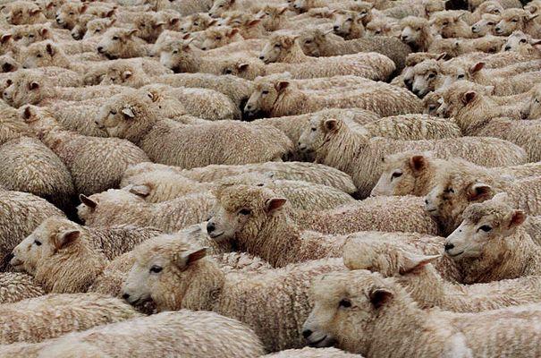 Neuseeland-Schafe