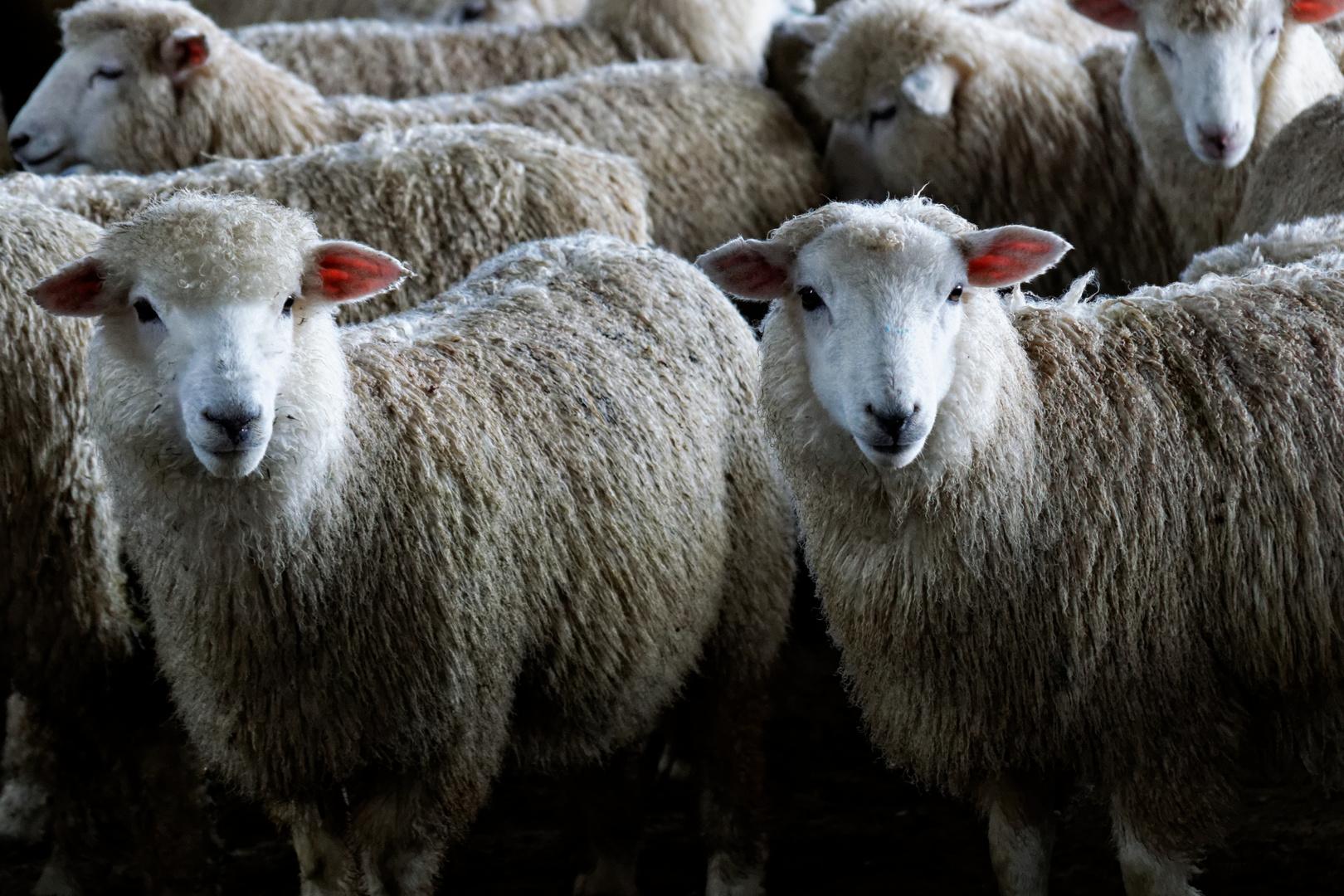 Neuseeland_Schafe