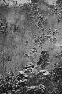 neve ed alberi di pino