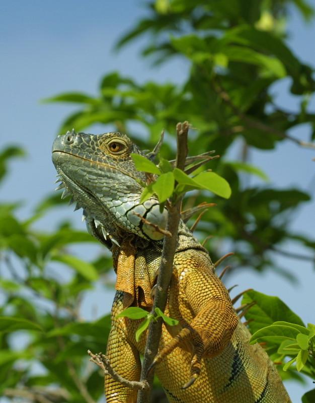 New World Tree Green Iguana