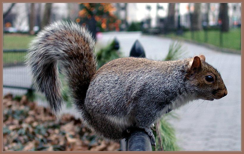 New York City Squirrel