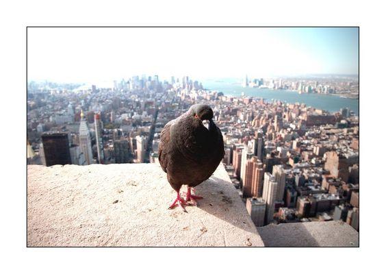 New York Pigeon