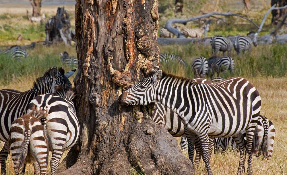 Ngorongoro Love Tree  