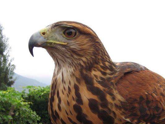 Niña, La mejor ave de Cetreria de Chile
