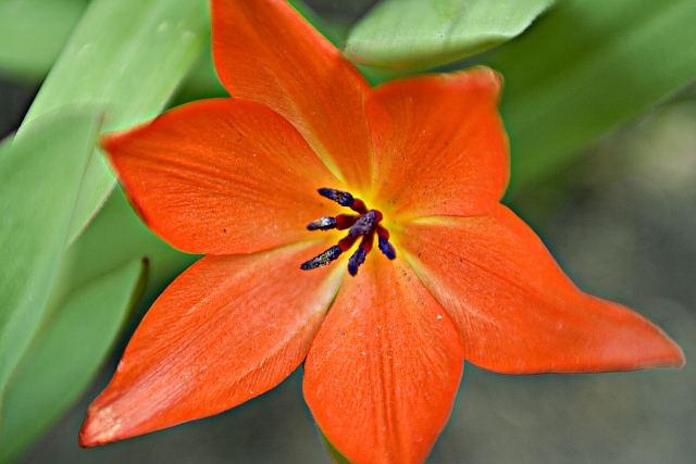 nice tulip