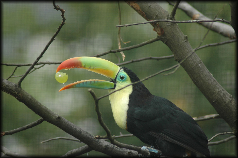 Nicely coloured Tucan