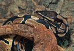 nicht alle mögen diese wunderschön gezeichneten Schlangen