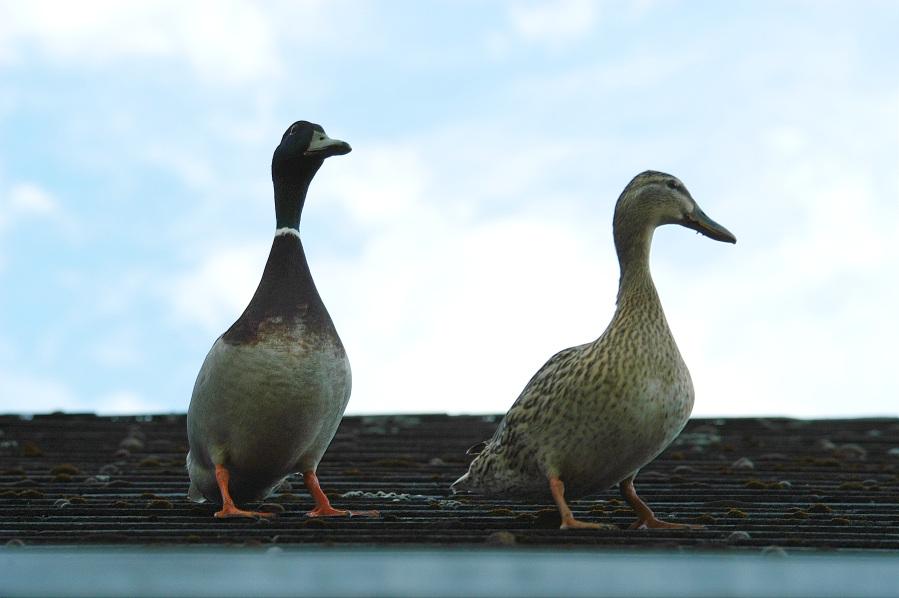 Nicht der Spatz, sondern zwei Enten auf dem Dach