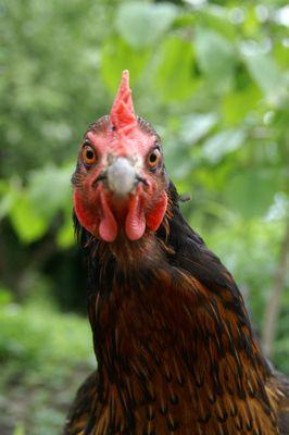 Nicht ganz scharfes Huhn