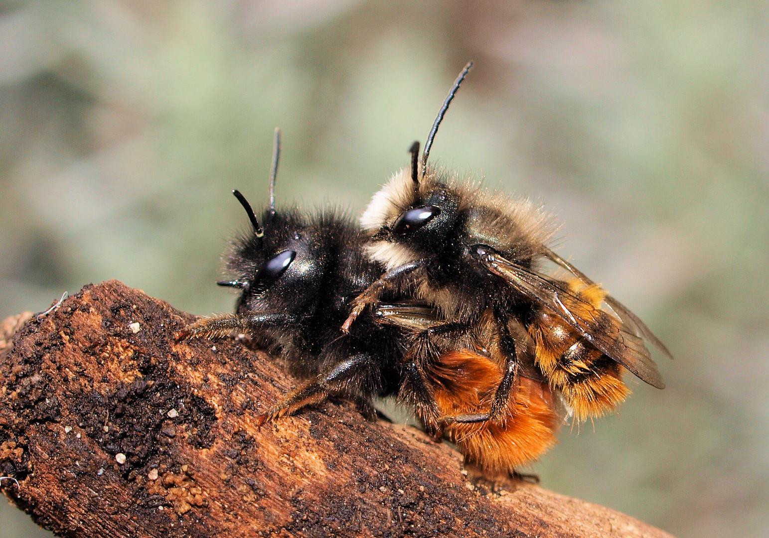 Nicht mehr ganz so traurig die Bienenmänner...