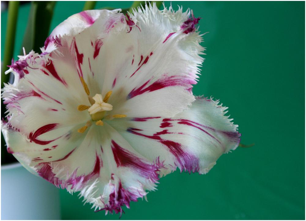 Nicht meine Tulpe