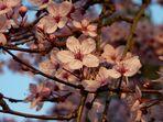Nicht nur Kirschblüten sind rosa...^^
