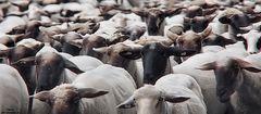 Nicht scharfe Schafe