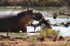 Nicht-Vegetarisches Flußpferd