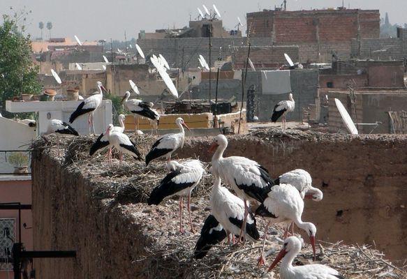 Nids de cigognes sur les toits de Marrakech