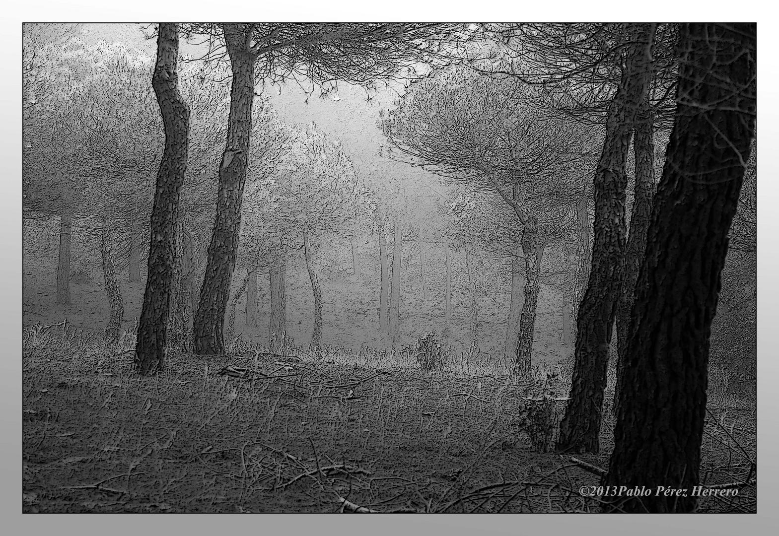 Niebla en el pinar