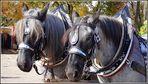 niederländer blauschimmel - kaltblutpferdemarkt laupheim