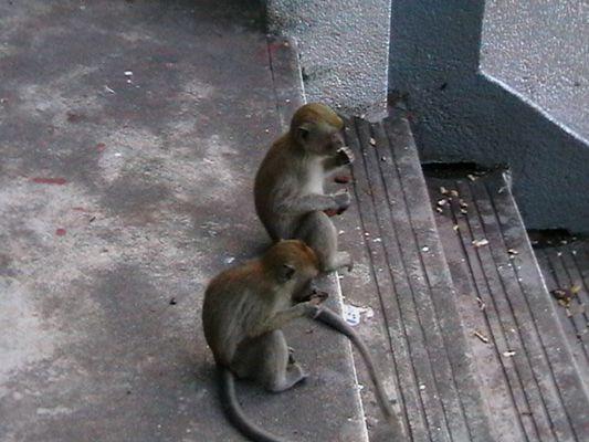 niedliche Äffchen in Malaysia