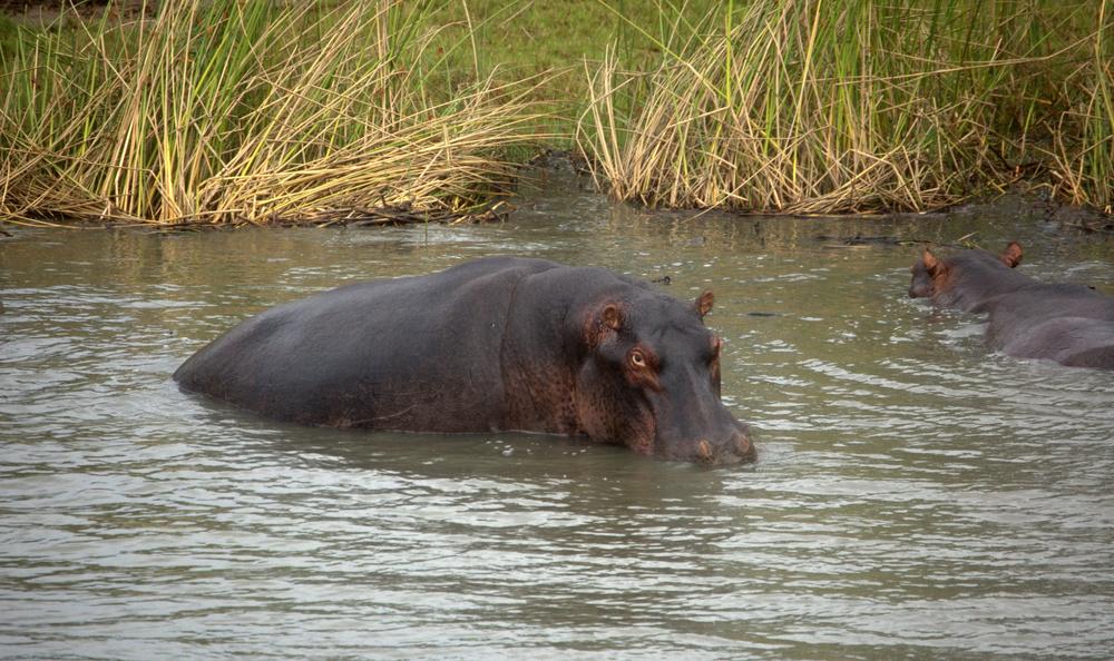 Nielpferd in Südafrika