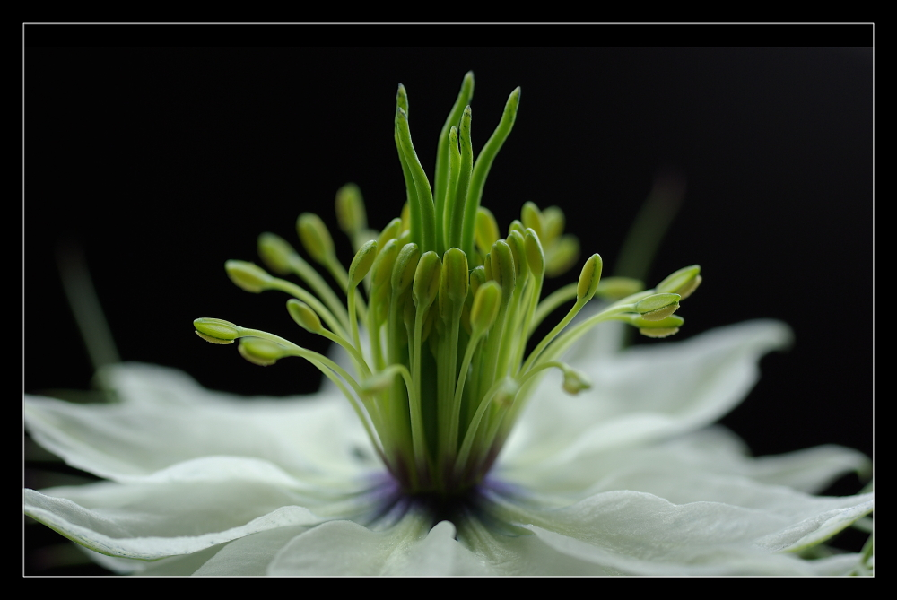... nigella damascena ... (5)