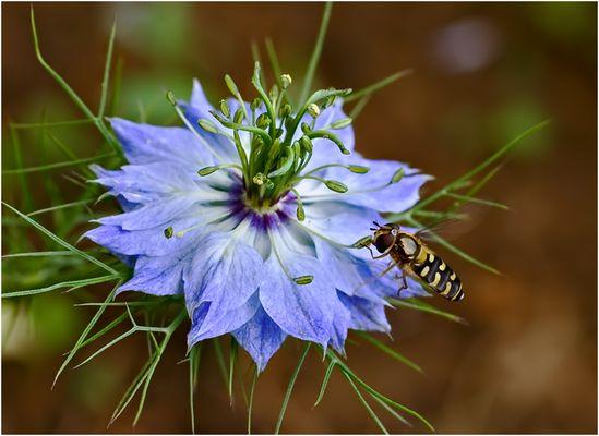 Nigelle de Damas (Nigella damascena) avec visiteur