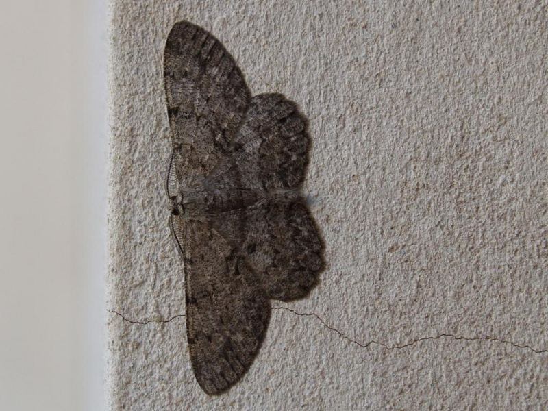 night-butterfly wall