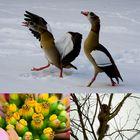 Nilgänse/ Gelbe Blüten/ Eichhörnchen