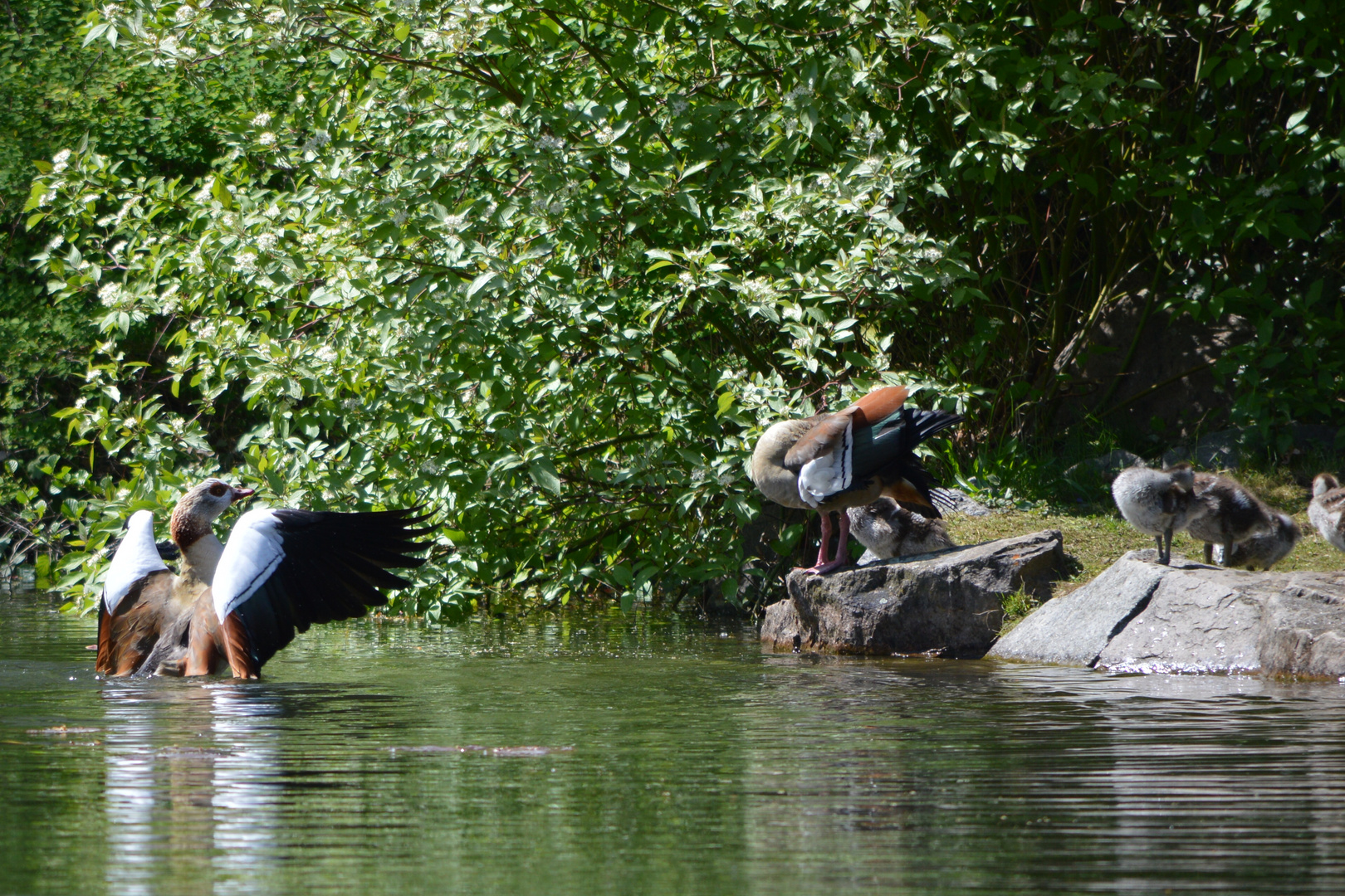 Nilgänse im Teich