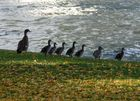 Nilgans-Familie in Frankfurt am Main (1)