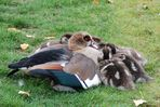 Nilgans-Familie in Frankfurt am Main (3)