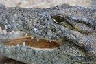 Nilkrokodil (Crocodylus niloticus) in Hagenbecks Tropenaquarium, Hamburg