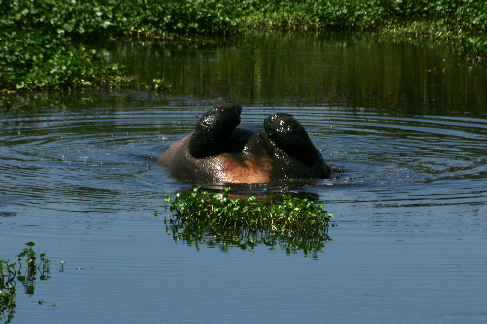 Nilpferd-Swimmingpool 2