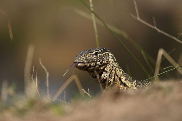 Nilwaran (Varanus niloticus) What are you?