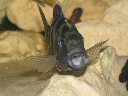 Nimbochromis Vénustus femelle !