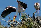 Nimmersatt beim Nestbau auf dem Chobe