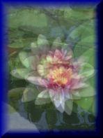 """Ninfee rosa"" omaggio a Monet"