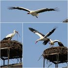 Nittenauer Storche