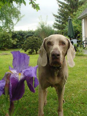 Nizzo et un Iris. Mai 2009